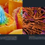 Formation des spermatozoïdes et spertmatozoïdes